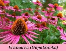 Echinacea - Vše o zdraví
