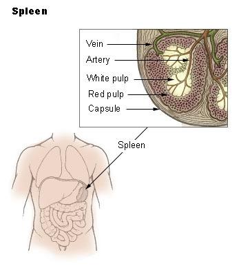 Bolesti sleziny - Vše o zdraví