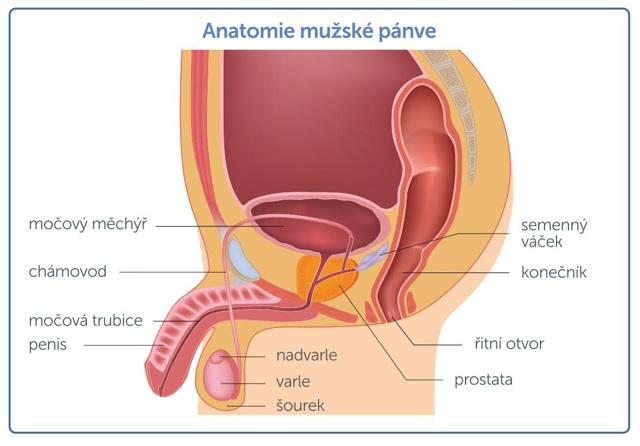 Co je prostata - Vše o zdraví