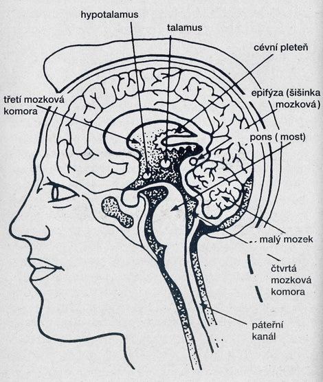 Hypotalamus - Vše o zdraví