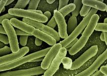 Morganella morganii bakterie - Vše o zdraví