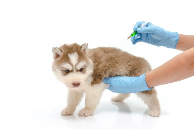 Očkování psů - Vše o zdraví