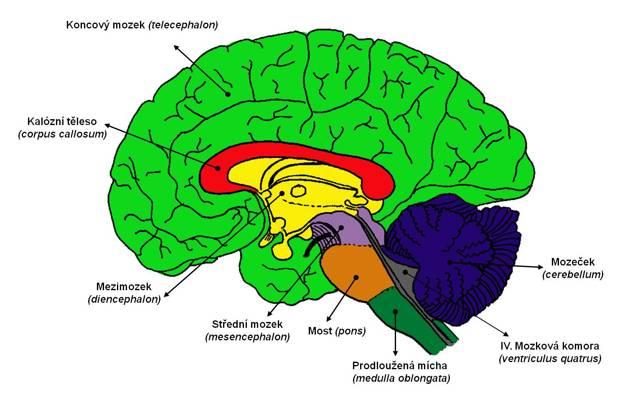 Nervová soustava - Vše o zdraví